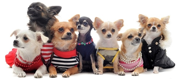 Your chihuahua clothes